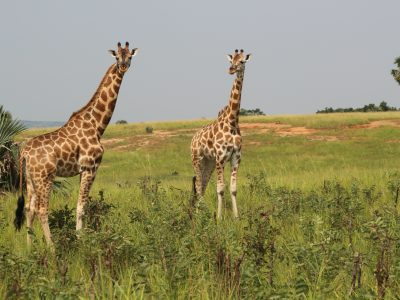 school_expedition_tanzania_impact_giraffe_pair