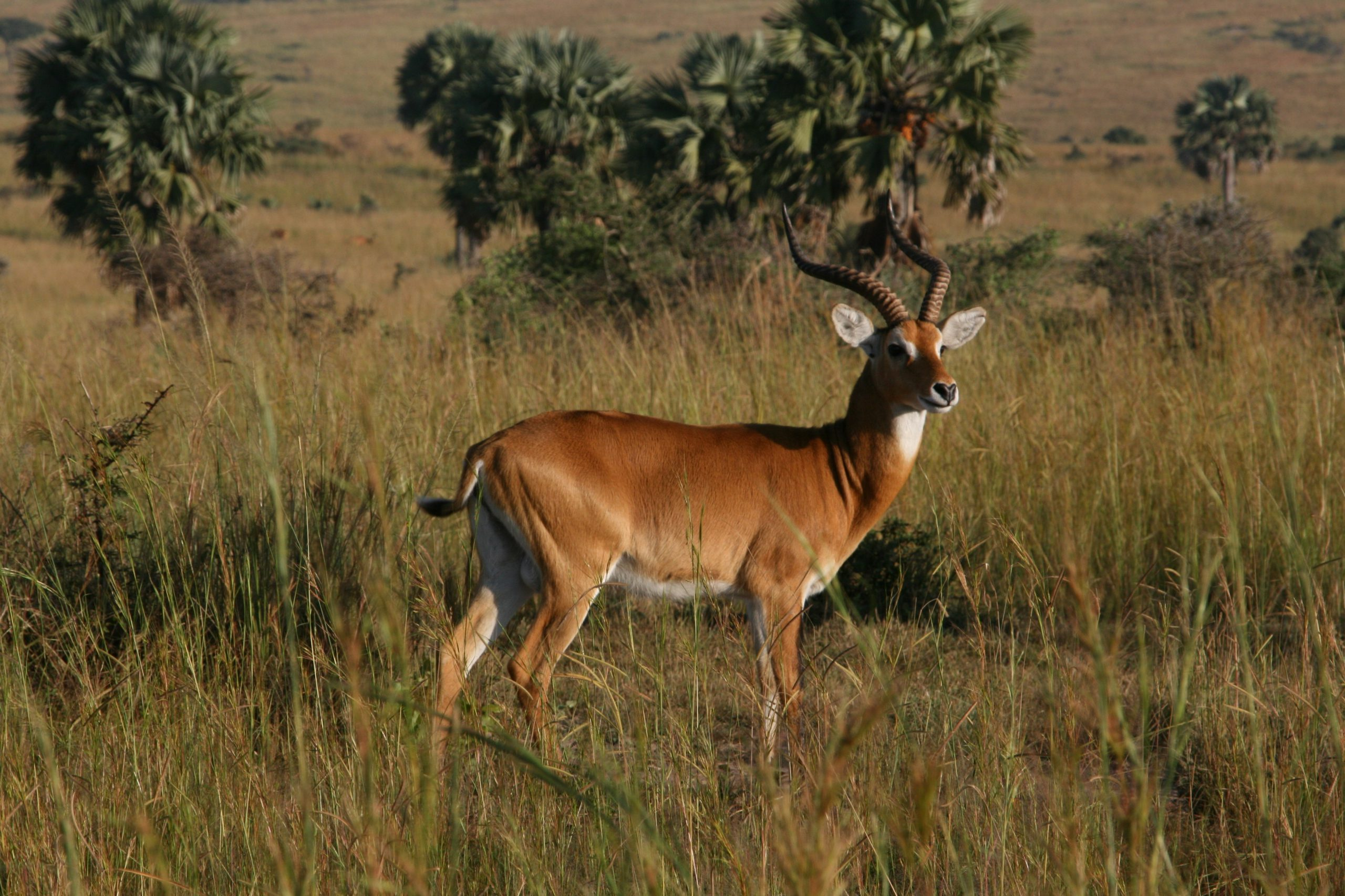 school_expedition_uganda_trek_impala_on_safari