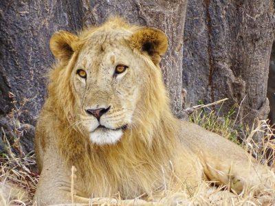 school_expedition_tanzania_trek_male_lion