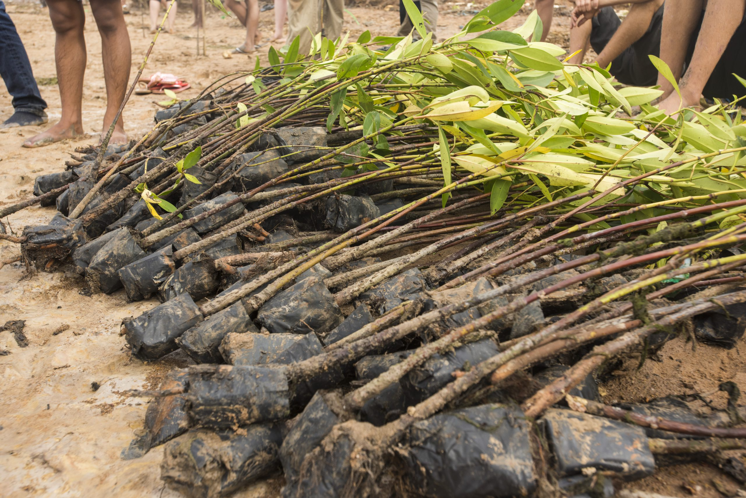 mangroves-waiting-to-be-planted