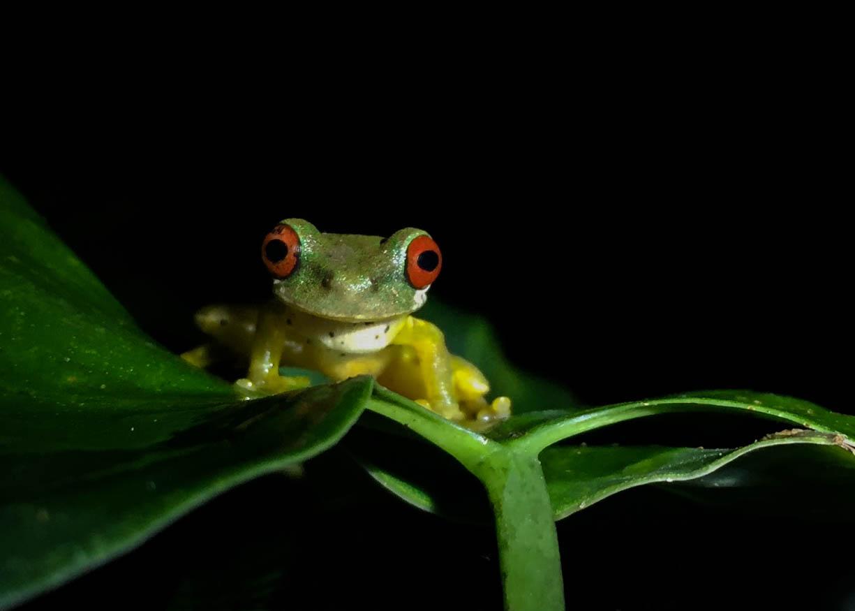 camps_international_amanda_mckay_tree_frog