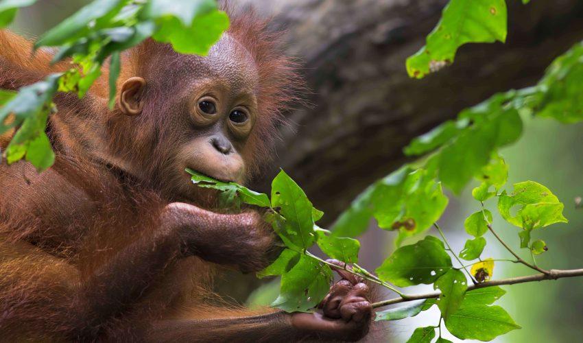 camps_international_borneo_trek_baby_orangutan-1