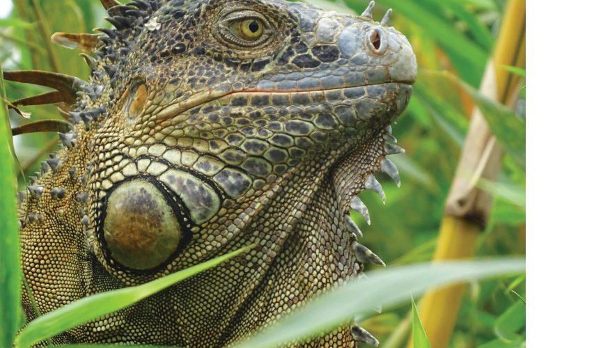 school_expeditions_costa_rica_impact_wild_lizard