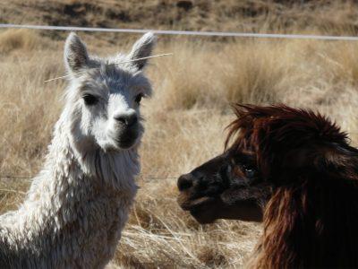 school_expedition_peru_impact_two_llamas