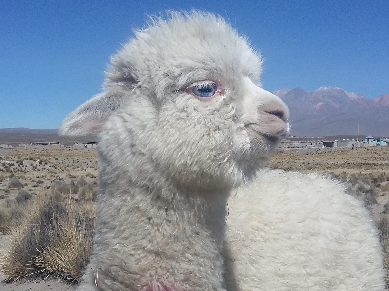 school_expedition_peru_rws_baby_llama