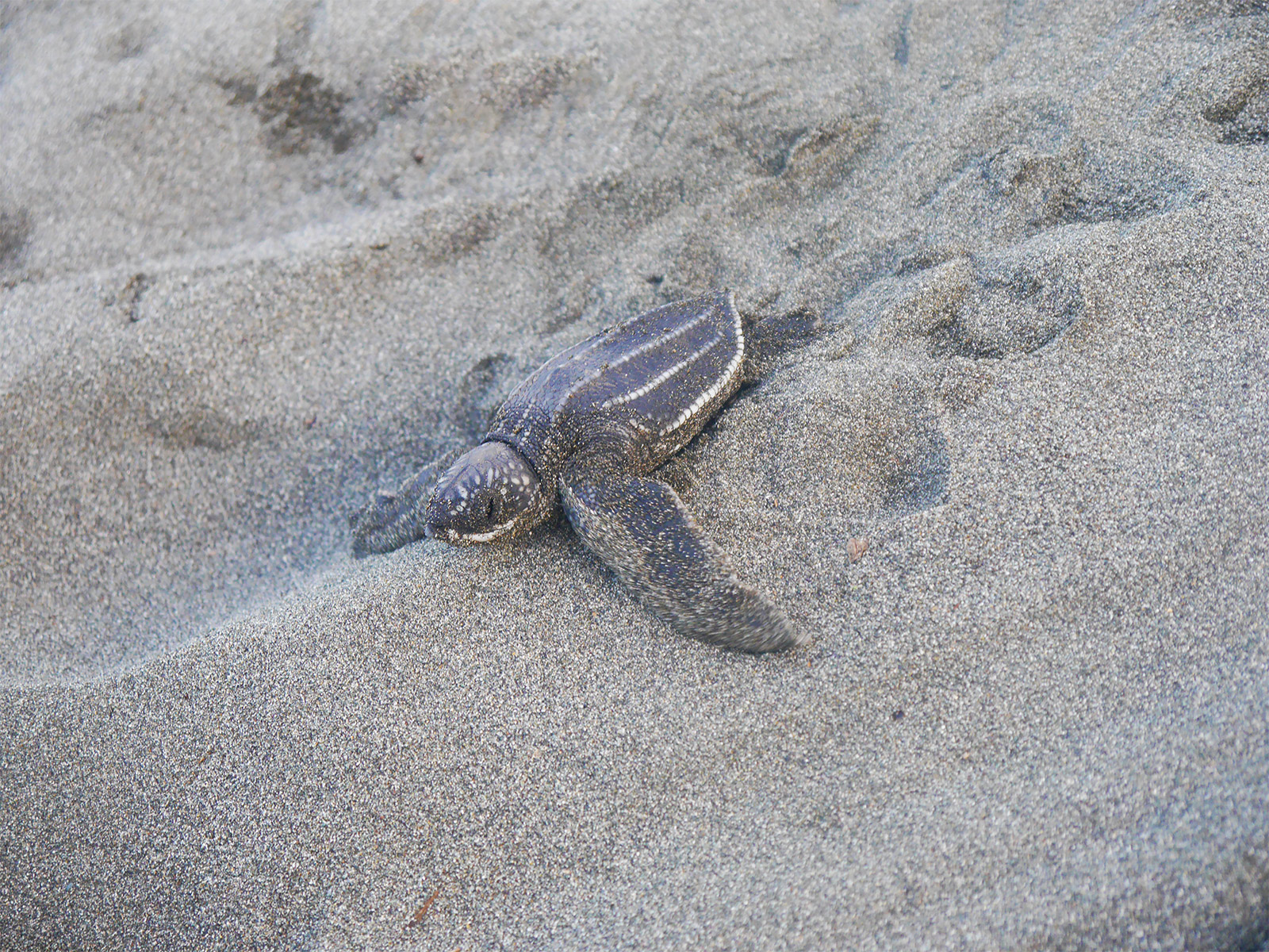 school_expedition_costa_rica_impact_baby_turtle
