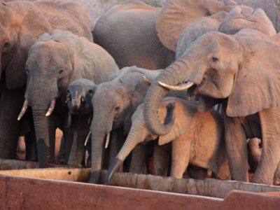 Elephants drinking at renovated cattle tanks